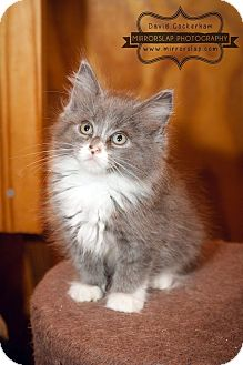 Domestic Longhair Kitten for adoption in Monterey, Virginia - Gandalf, Samwise Pippin