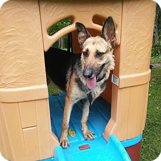 German Shepherd Dog Dog for adoption in Louisville, Kentucky - Dixie