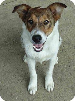 Sheltie, Shetland Sheepdog Mix Puppy for adoption in Washington court House, Ohio - Sonic