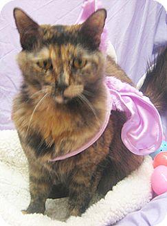 Domestic Mediumhair Cat for adoption in Garland, Texas - Cassie