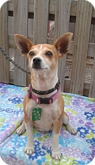 Chihuahua Mix Dog for adoption in Manhattan, Kansas - Rica