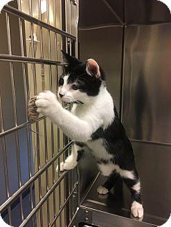 Domestic Shorthair Kitten for adoption in Chicago, Illinois - Gresina