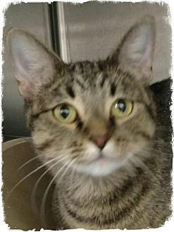 Domestic Shorthair Cat for adoption in Pueblo West, Colorado - Gracie