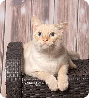 Siamese Cat for adoption in Smithtown, New York - Toot
