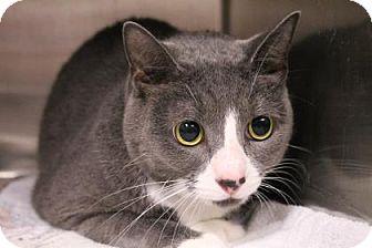 Domestic Shorthair Cat for adoption in Daytona Beach, Florida - Presley