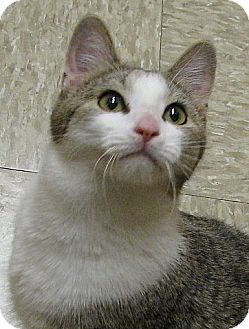 Domestic Shorthair Cat for adoption in Tulsa, Oklahoma - Ragnar