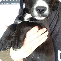 Adopt A Pet :: Gracie pup 7 - Pompton Lakes, NJ