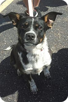Australian Cattle Dog Mix Dog for adoption in Akron, Ohio - Tempra