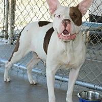 Adopt A Pet :: Ginger - Hilton Head, SC