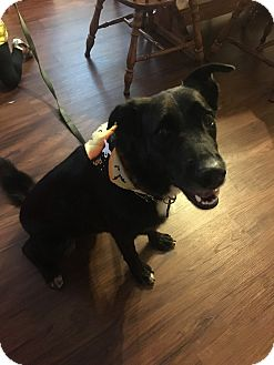 Border Collie/Labrador Retriever Mix Dog for adoption in Sneads Ferry, North Carolina - Jojo