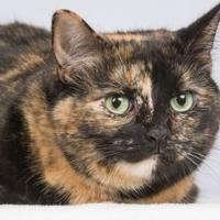Adopt A Pet :: Zola - Tinley Park, IL