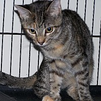 Domestic Shorthair Cat for adoption in Ashland, Virginia - Edie