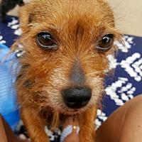 Adopt A Pet :: Ellie - Springfield, VA
