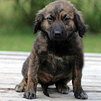 Adopt A Pet :: PUPPY ROUS - Andover, CT