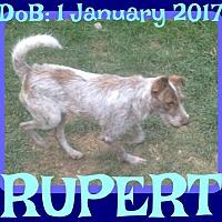 Adopt A Pet :: RUPERT - Sebec, ME