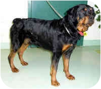 Rottweiler Dog for adoption in Oswego, Illinois - SANIO