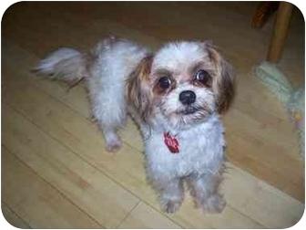 Terrier (Unknown Type, Small)/Shih Tzu Mix Dog for adoption in Sacramento, California - Lacie