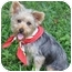 Photo 2 - Yorkie, Yorkshire Terrier Puppy for adoption in West Palm Beach, Florida - Billy the Kid