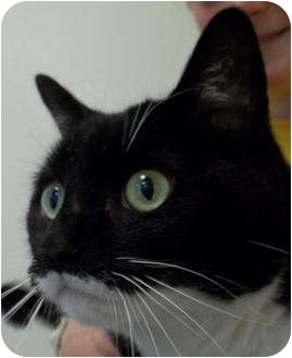 Domestic Shorthair Cat for adoption in Barron, Wisconsin - Mew Mew