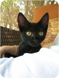Domestic Shorthair Kitten for adoption in Edgewater, New Jersey - Inky