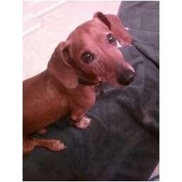Dachshund Dog for adoption in Jacobus, Pennsylvania - Chance - NJ