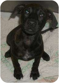 American Pit Bull Terrier Mix Puppy for adoption in Rapid City, South Dakota - Marnie