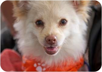 Pomeranian/Papillon Mix Dog for adoption in Los Angeles, California - Princess