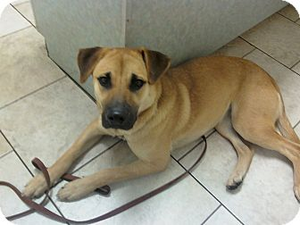Shepherd (Unknown Type) Mix Dog for adoption in Largo, Florida - Sandy - Courtesy Post