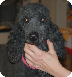 Poodle (Standard) Mix Dog for adoption in North Benton, Ohio - Halle