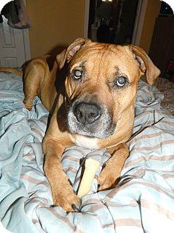 Mastiff/Rhodesian Ridgeback Mix Dog for adoption in Missouri City, Texas - Rhett