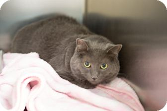 Domestic Shorthair Cat for adoption in Sterling, Kansas - Scamper