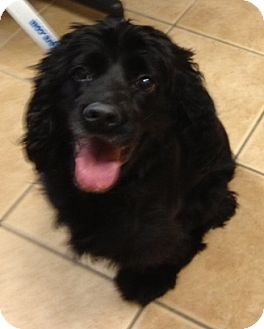 Cocker Spaniel/English Springer Spaniel Mix Dog for adoption in Oak Ridge, New Jersey - Ted