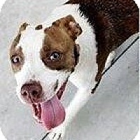 Adopt A Pet :: Callie - Loxahatchee, FL