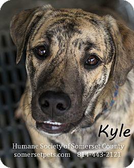Labrador Retriever/Shepherd (Unknown Type) Mix Dog for adoption in Somerset, Pennsylvania - Kyle