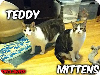Domestic Shorthair Cat for adoption in River Edge, New Jersey - Mittens