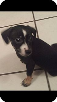 Beagle/Terrier (Unknown Type, Small) Mix Puppy for adoption in El Segundo, California - Ivy