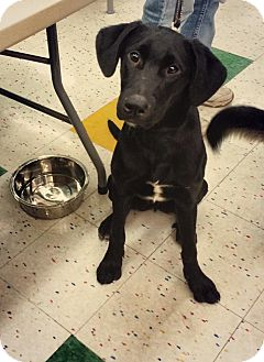 German Shepherd Dog/Labrador Retriever Mix Dog for adoption in Rochester/Buffalo, New York - Willy