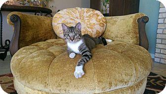 Domestic Shorthair Kitten for adoption in Kerrville, Texas - Joseph