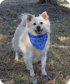 Spitz (Unknown Type, Small)/American Eskimo Dog Mix Dog for adoption in Mocksville, North Carolina - Halo