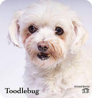 Poodle (Miniature)/Maltese Mix Dog for adoption in Metairie, Louisiana - Toodlebug (Baton Rouge)