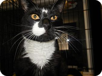 Domestic Shorthair Cat for adoption in Cliffside Park, New Jersey - APRIL