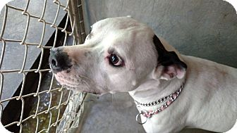 Pit Bull Terrier Mix Puppy for adoption in Henderson, North Carolina - Dymond*