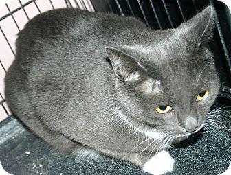 Domestic Shorthair Cat for adoption in Simcoe, Ontario - Bibs