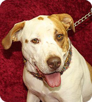 Labrador Retriever/American Bulldog Mix Dog for adoption in Jackson, Michigan - Sassy