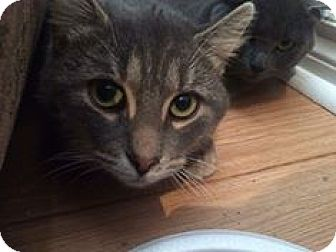 Domestic Shorthair Cat for adoption in THORNHILL, Ontario - WICKET