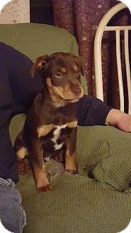 Hound (Unknown Type)/Labrador Retriever Mix Puppy for adoption in Lyndhurst, New Jersey - Smokey