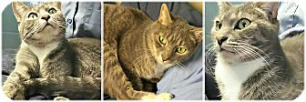 Domestic Shorthair Cat for adoption in Forked River, New Jersey - Bitsy
