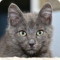 Adopt A Pet :: Lil Bambluezle - Davis, CA