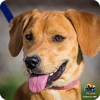 Jack Russell Terrier/Labrador Retriever Mix Dog for adoption in Evansville, Indiana - Pearl