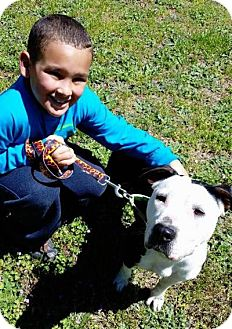 Pointer/American Staffordshire Terrier Mix Dog for adoption in Lebanon, Maine - Jazzy-LOCAL